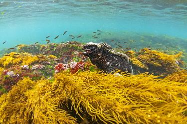 Marine iguana (Amblyrhynchus cristatus) in water, Puerto Egas, Santiago Island, Galapagos