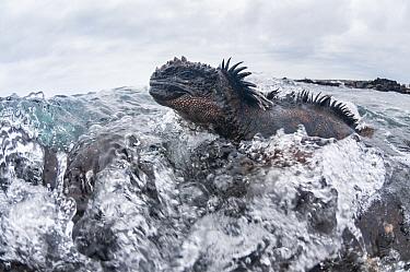 Marine iguana (Amblyrhynchus cristatus) in the surf, Black Beach, Floreana Island, Galapagos