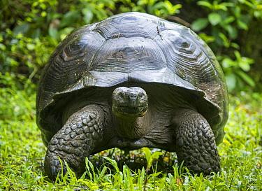 Western Santa Cruz giant tortoise (Chelonoidis porteri) portrait, Highlands, Santa Cruz Island, Galapagos
