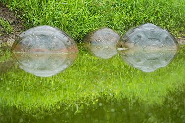 Western Santa Cruz giant tortoises (Chelonoidis porteri) resting in water, South coast (Las Palmitas), Santa Cruz Island, Galapagos