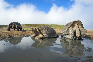 Alcedo giant tortoise (Chelonoidis vandenburghi) pair mating in shallow pool, with two others resting nearby. Alcedo Volcano, Isabela Island, Galapagos