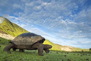 Alcedo giant tortoise (Chelonoidis vandenburghi) walking, Alcedo Volcano, Isabela Island, Galapagos