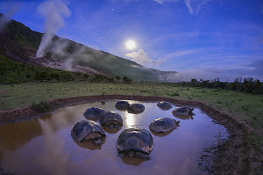 Alcedo giant tortoises (Chelonoidis vandenburghi) group resting in water to keep cool, Alcedo Volcano, Isabela Island, Galapagos
