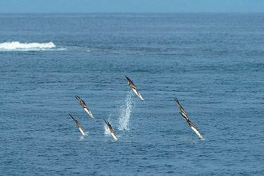 Blue-footed booby (Sula nebouxii), six diving into sea. Cape Douglas, Fernandina Island, Galapagos.