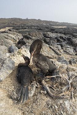 Flightless cormorant (Phalacrocorax harrisi) pair at nest. Galapagos marine iguana (Amblyrhynchus cristatus) carcasses surrounding nest. El Nino resulted in starvation of iguanas. Cape Douglas, Fernan...