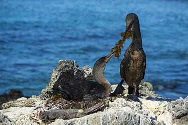 Flightless cormorant (Phalacrocorax harrisi), pair at nest with seaweed in beaks. Carcasses surrounding nest. Cape Douglas, Fernandina Island, Galapagos.
