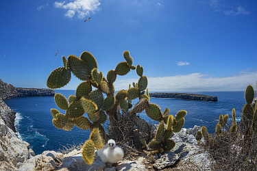 Nazca booby (Sula granti) chick under Prickly pear cactus (Opuntia sp) on cliff. Wolf Island, Galapagos. August 2016.