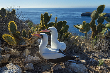 Nazca booby (Sula granti), pair amongst Prickly pear (Opuntia sp) cacti at coast. Wolf Island, Galapagos. August 2016.