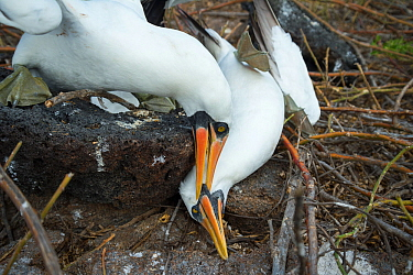 Nazca booby (Sula granti), male pinning another male down during fight. Genovesa Island, Galapagos. Sequence 4/6.