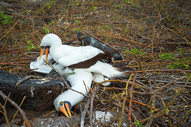Nazca booby (Sula granti), male pinning another male down during fight. Genovesa Island, Galapagos. Sequence 3/6.