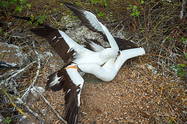 Nazca booby (Sula granti), two males fighting. Genovesa Island, Galapagos. Sequence 2/6.