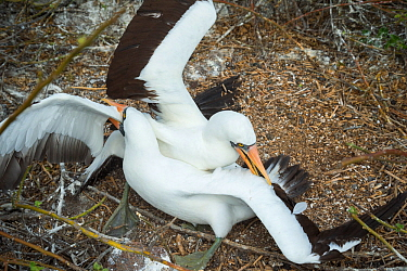 Nazca booby (Sula granti), two males fighting. Genovesa Island, Galapagos. Sequence 1/6.