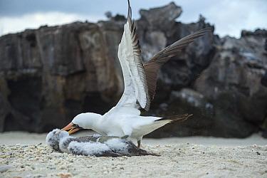 Nazca booby (Sula granti), adult killing chick. Genovesa Island, Galapagos.