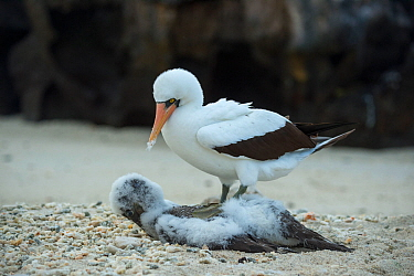 Nazca booby (Sula granti), adult with chick that it has killed. Genovesa Island, Galapagos.