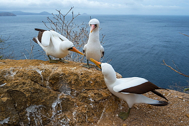Nazca booby (Sula granti), two males in competition for onlooking female. Gardner Islet, Floreana Island, Galapagos.