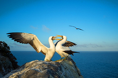 Nazca booby (Sula granti), pair in courtship, on rock at coast. Gardner Islet, Floreana Island, Galapagos.