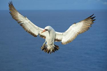 Nazca booby (Sula granti) in flight over sea. Gardner Islet, Floreana Island, Galapagos