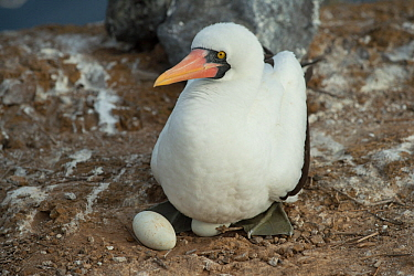 Nazca booby (Sula granti) on nest with two eggs. Gardner Islet, Floreana Island, Galapagos.