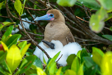 Red-footed booby (Sula sula), adult and chick at nest. Genovesa Island, Galapagos.