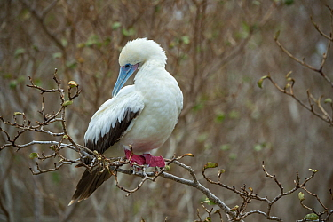 Red-footed booby (Sula sula) preening whilst perched in tree. Wolf (Wenman) Island, Galapagos.