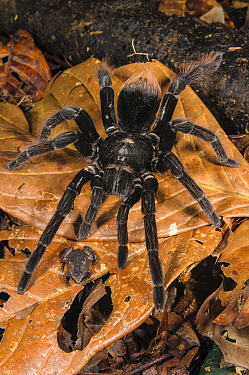 Peruvian Tarantula (Pamphobeteus sp.) adult, walking over Humming Frog (Chiasmocleis royi) without preying on it. Los Amigos Biological Station, Madre de Dios, Amazonia, Peru. These species have a com...