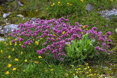 Mountain kidney-vetch (Anthyllis montana) and Bird's-foot trefoil (Lotus sp) in alpine meadow. Plateau de Beurre, Vercors Regional Natural Park, France. June.
