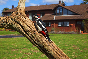 Great spotted woodpecker (Dendrocopos major) perched on tree in garden. Crow, Ringwood, Hampshire, England, UK. April 2018.