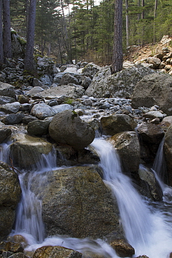 Ruisseau de Verjello River and surrounding Corsican pine (Pinus nigra laricio) forest. Foret de Cervello, Vivario, Haute-Corse, Corsica, France. May 2017.