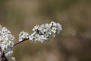 Blackthorn (Prunus spinosa) flowers. Isle of Purbeck, Dorset, England, UK. April.