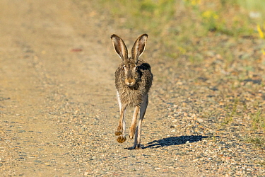 White-tailed jackrabbit (Lepus townsendii) running on a dirt road, Jackson County, Colorado, USA, June.