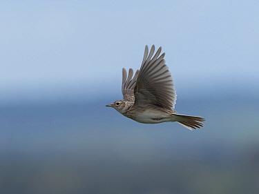 Skylark (Alauda arvensis) hovering above chalk grassland, Hertfordshire, England, UK, April