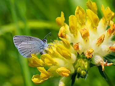 Small blue butterfly (Cupido minimus) female laying eggs among flowers of Kidney Vetch (Anthyllis vulneraria), Hertfordshire, England, UK, May