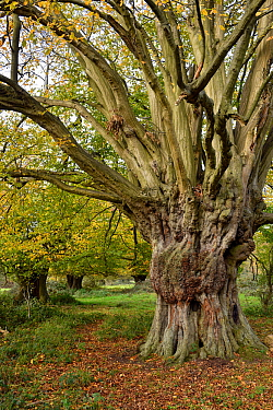 Hornbeam tree (Carpinus betulus) ancient pollard, Hatfield Forest, Essex, England, UK, October