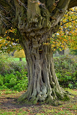 Hornbeam tree (Carpinus betulus) ancient pollard showing knarled trunk, Hatfield Forest, Essex, England, UK, October