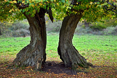 Hornbeam tree (Carpinus betulus) ancient pollard with split trunk, Hatfield Forest, Essex, England, UK, October