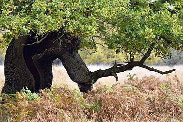 English Oak Tree (Quercus robur) ancient pollard with split exposing hollow interior, London, England, UK, November