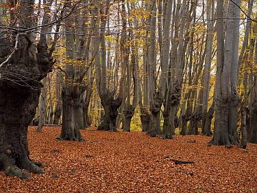 Beech tree woodland (Fagus sylvatica) old pollards, Epping Forest, Essex, England, UK, November