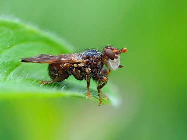 Bee killer fly (Myopa buccata) sitting in wait for passing Bee, Hertfordshire, England, UK, May. Focus Stacked Image