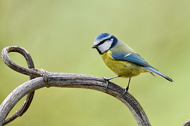 Blue Tit (Cyanistes caeruleus) portrait on old Hogweed stem, Hertfordshire, England, UK, February