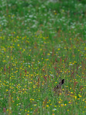 Brown hare (Lepus europaeus) leveret in upland hay meadow, Upper Teesdale, Co Durham, England, UK, June