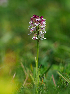 Burnt-tip Orchid (Orchis ustulata) Individual plant, East Sussex, England, UK, May