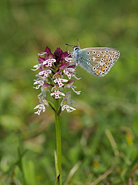 Common Blue Butterfly (Polyommatus icarus) feeding on Burnt-tip Orchid (Orchis ustulata) , East Sussex, England, UK, May