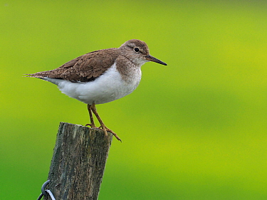 Common Sandpiper (Actitis hypoleucos) on top of fence post, Upper Teesdale, Co Durham, England, UK, June