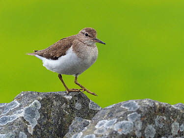 Common sandpiper (Actitis hypoleucos) walking along top of drystone wall, Upper Teesdale, Co Durham, England, UK, June
