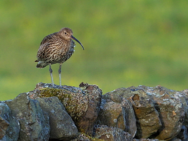 Curlew (Numenius arquata) Standing along dry stone wall, Upper Teesdale, Co Durham, England, UK, June