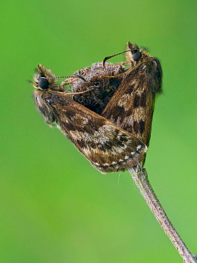Dingy skipper butterfly (Erynnis tages) mating pair, Bedfordshire, England, UK, May - Focus Stacked Image