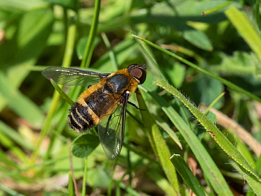 Downland bee-fly (Villa cingulata) male, this rare southern species is usually seen on calcareous grassland in the Chilterns, Buckinghamshire, England, UK, June