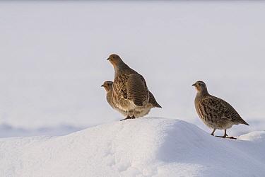 Grey partridge (Perdix perdix) three birds on snow covered mound, Bedfordshire, England, UK, December