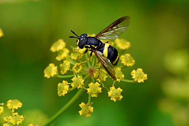 Hoverfly (Chrysotoxum bicinctum) distinctive black and yellow hoverfly visiting Wild Parsnip flower, Buckinghamshire, England, UK, July