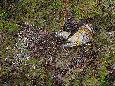 Merlin (Falco columbarius) Female dead in nest predated by Stoat, Upper Teesdale, Co Durham, England, UK, June